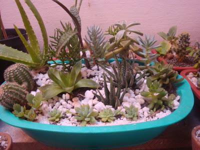 Jardim de suculenta